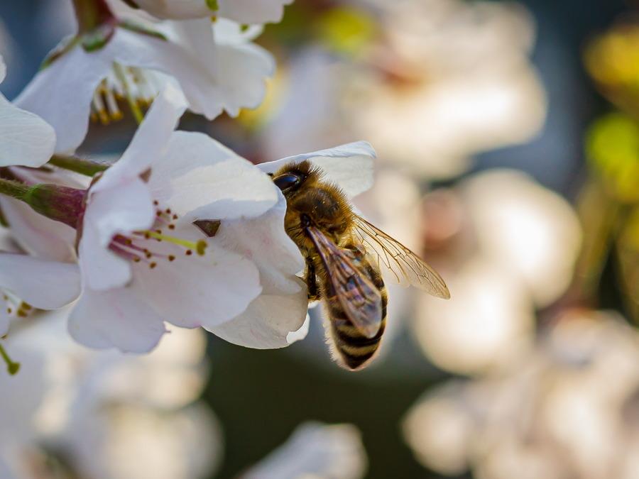 Eine Biene an einer Kirschblüte